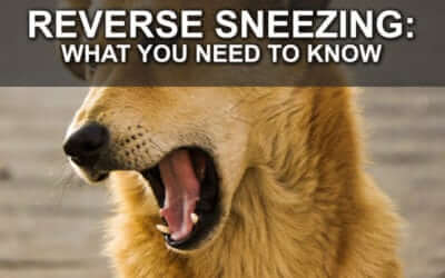 Reverse Sneezing: What You Need to Know