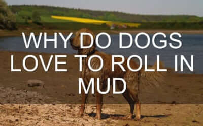 Why do Dogs Love to Roll in Mud?