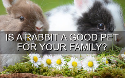 Is a Rabbit a Good Pet For Your Family?